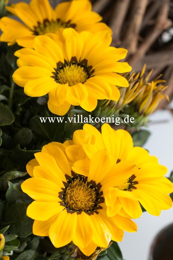 Herbstliche Mittagsgoldblume - Gazania Hybriden
